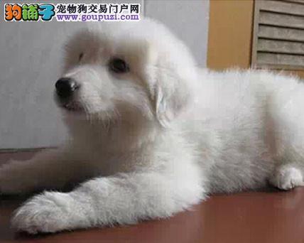 出售纯种大白熊幼犬3个月血统纯种