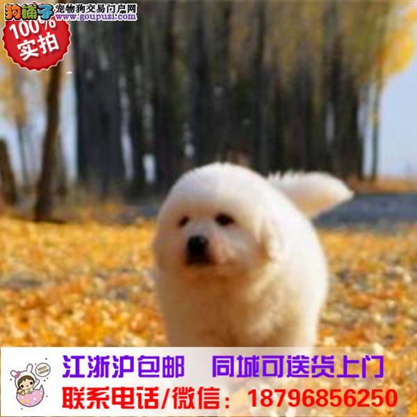 武隆县出售精品大白熊,带血统