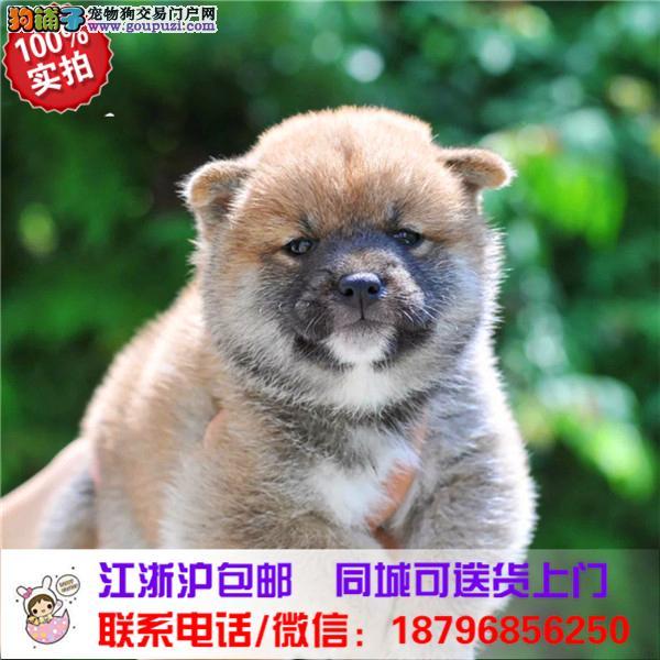 白银市出售精品柴犬,带血统