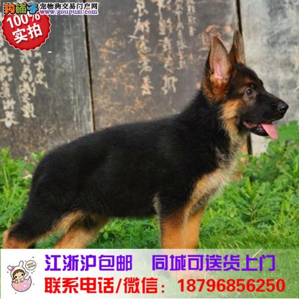 延庆县出售精品德国牧羊犬,带血统
