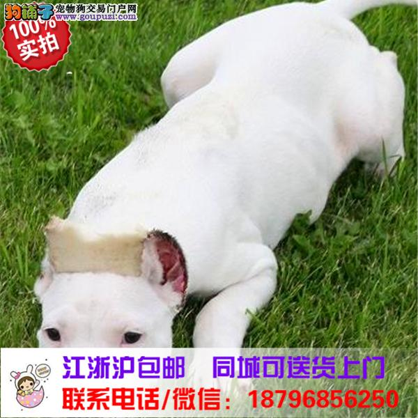 乌鲁木齐出售精品杜高犬,带血统