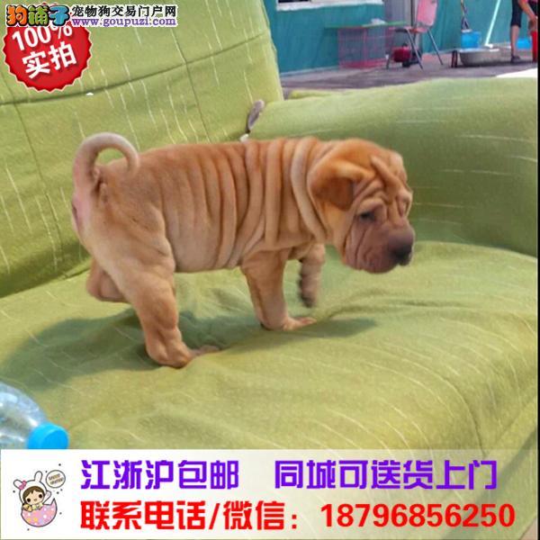 湘西州出售精品沙皮狗,带血统