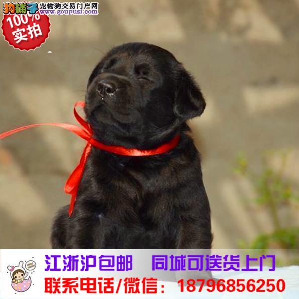 郑州市出售精品拉布拉多犬,带血统