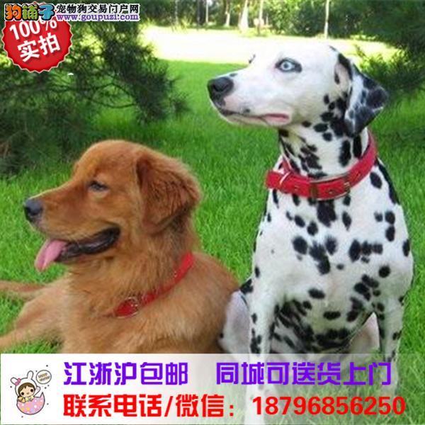 郑州市出售精品斑点狗,带血统