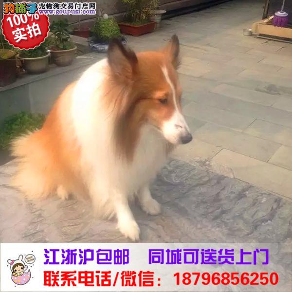 郑州市出售精品苏格兰牧羊犬,带血统