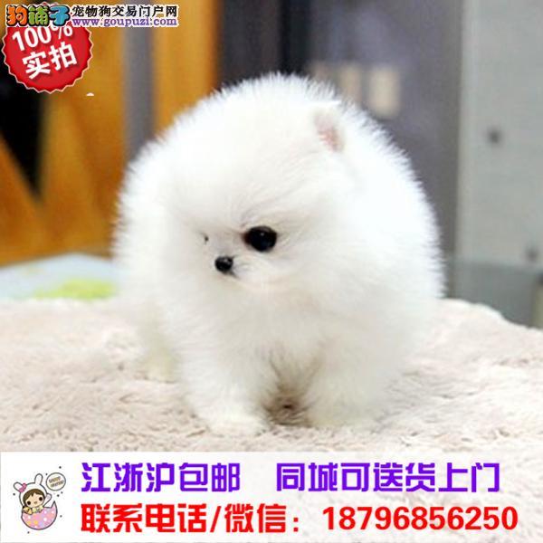延边州出售精品博美犬,带血统