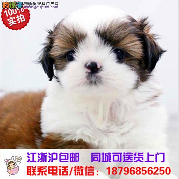 南阳市出售精品西施犬,带血统