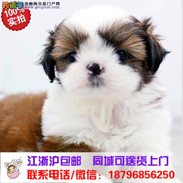泰州市出售精品西施犬,带血统