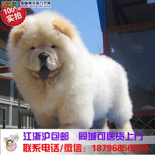 株州市出售精品松狮犬,带血统
