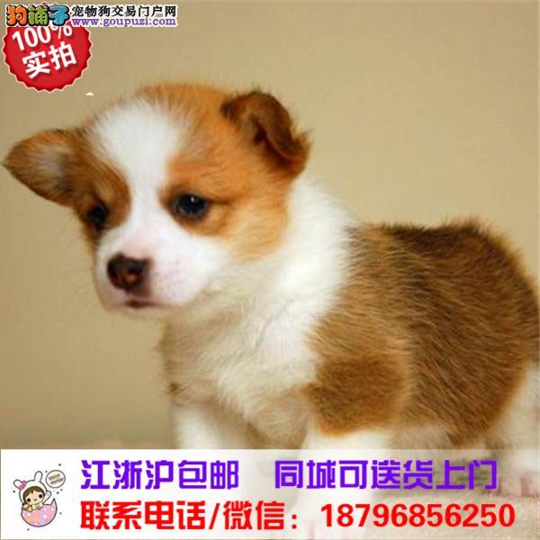 白沙县出售精品柯基犬,带血统
