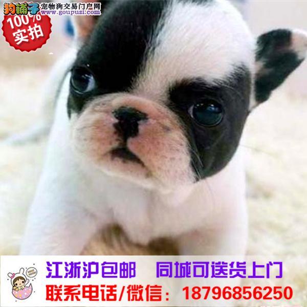 白沙县出售精品法国斗牛犬,带血统