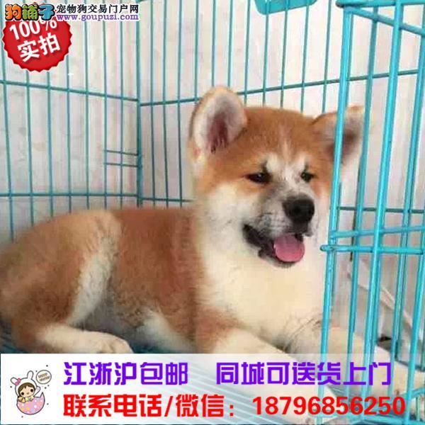 白沙县出售精品秋田犬,带血统