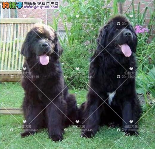 正规犬舍繁殖、诚信交易、纯种纽芬兰犬、可签协议