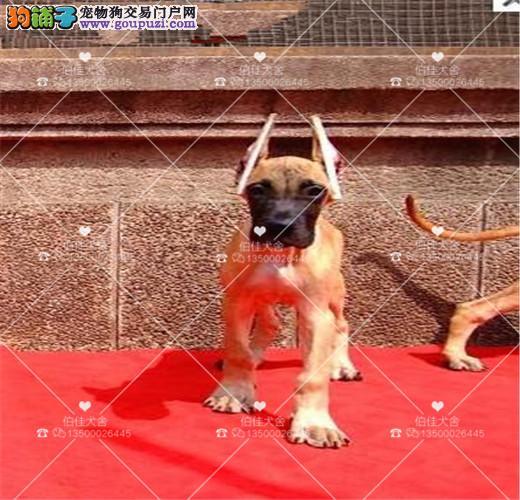纯种德国大丹犬、 高大威猛 、金丹、 花丹犬