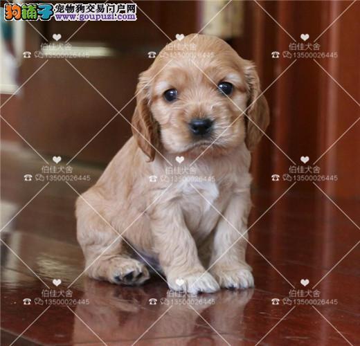 纯种可卡犬、保证纯种、健康、 终身质保、饲养指导
