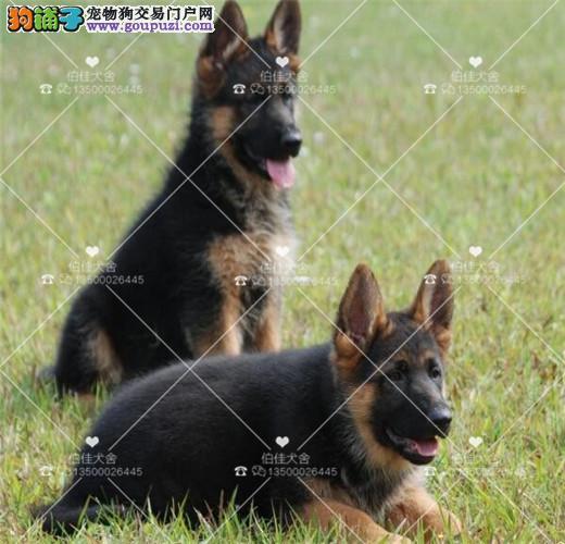 黑背警犬、德牧、工作犬、可现场看狗、售后可签协议