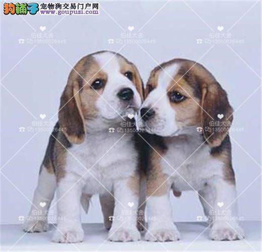 短毛纯种比格犬、小型伴侣犬比格幼犬、高智商、不掉毛