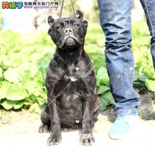 犬舍繁殖纯种卡斯罗、健康威猛霸气十足、保纯种保售后