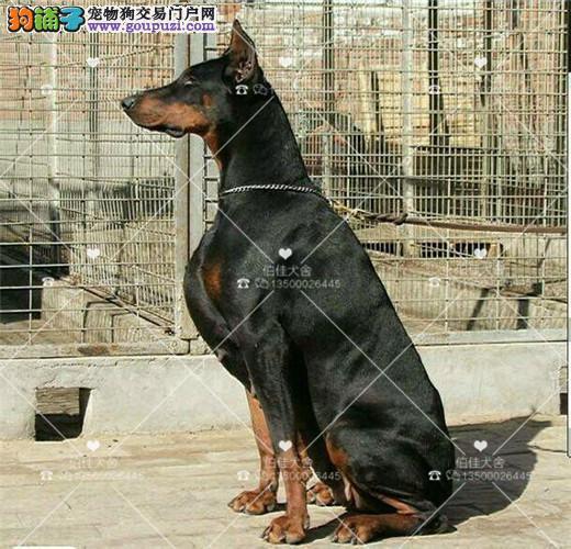 高品质德系杜宾幼犬出售、头版正、骨量大、色素深