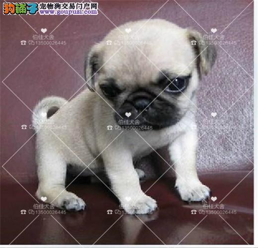 纯种可爱迷你巴哥犬 、毛色靓、好品相巴哥、 多条可选