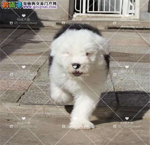 纯种超可爱古牧犬、白头通背、双杏眼、体态完美