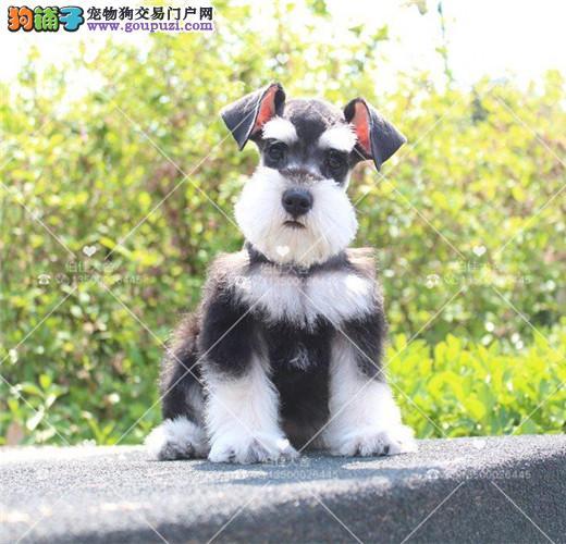纯种雪纳瑞幼犬、椒盐黑银都有、多只可选、签订活体协