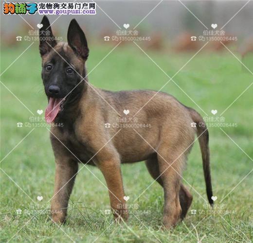 纯种比利时马犬、兴奋度高、警觉性强、动作灵敏