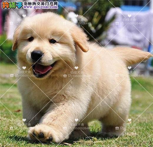 通人性的金毛巡回犬、赛级品质、签协议、健康血统有保