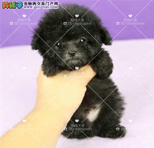 极品微小茶杯泰迪熊 、高品质毛色毛量极佳茶杯犬