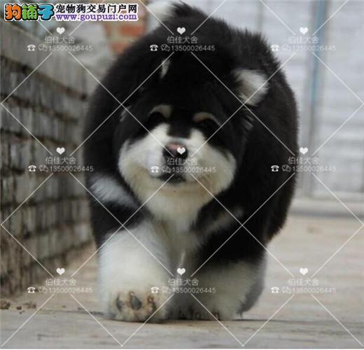 基地直销极品阿拉斯加幼犬、保健康保纯种、签售后协议