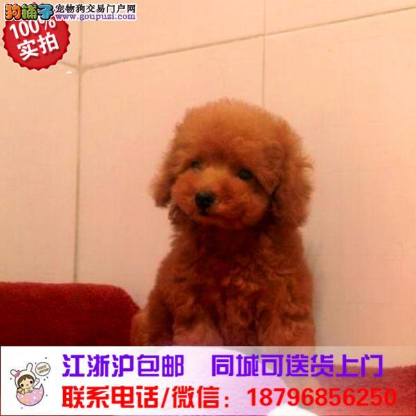 阜阳市出售精品泰迪犬,带血统