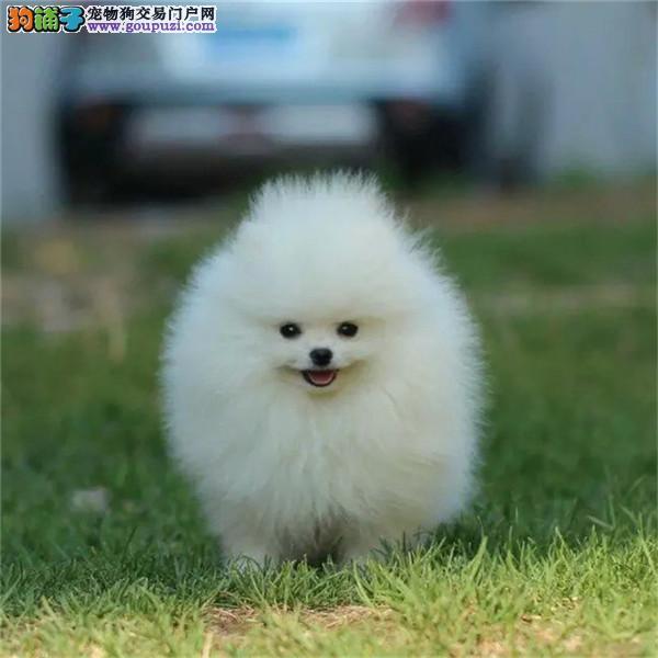 滁州市出售三个月大的博美犬,联系电话:13818329251