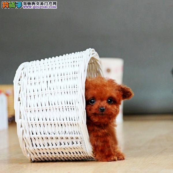 滁州市出售三个月泰迪犬,联系电话:13818329251