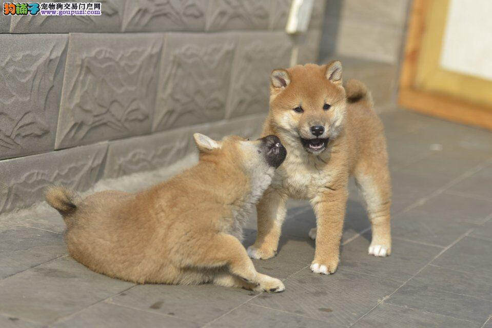 世界上最忠诚的犬 出售纯种健康的柴犬幼犬