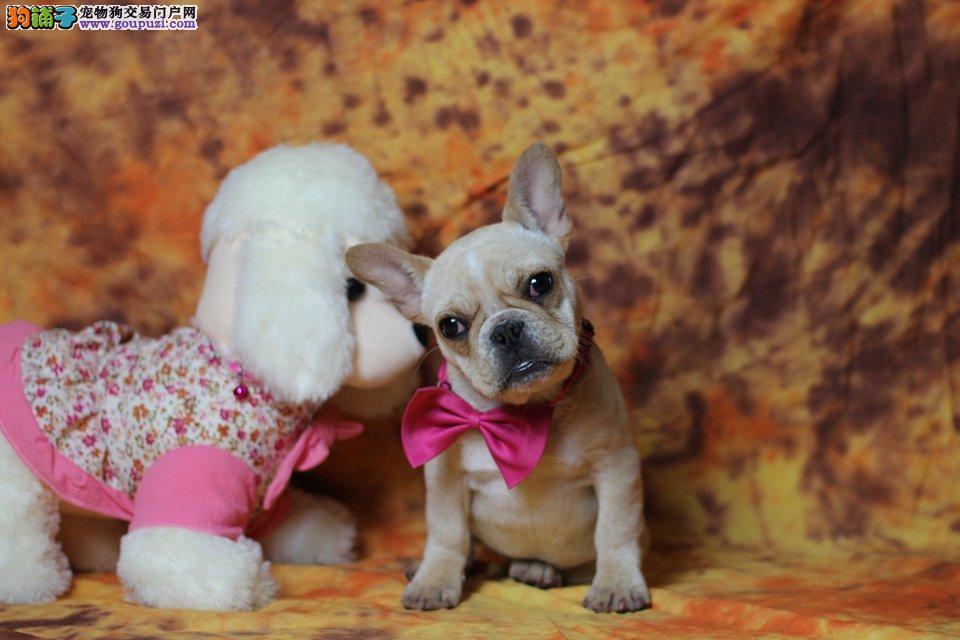 最萌最亲近于小朋友的爱犬超级萌超级憨法国斗牛犬