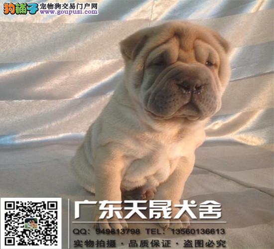 超可爱的沙皮幼犬、适应能力强、血统纯正、聪明好训练