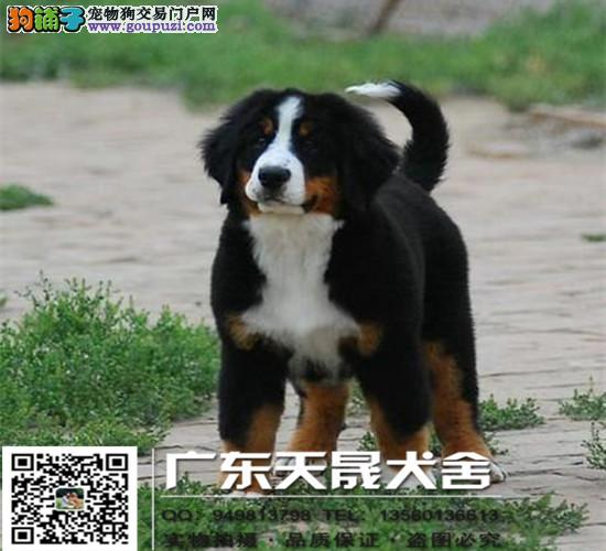 贵族犬伯恩山幼犬出售、高品质、高质量、欢迎来场挑选