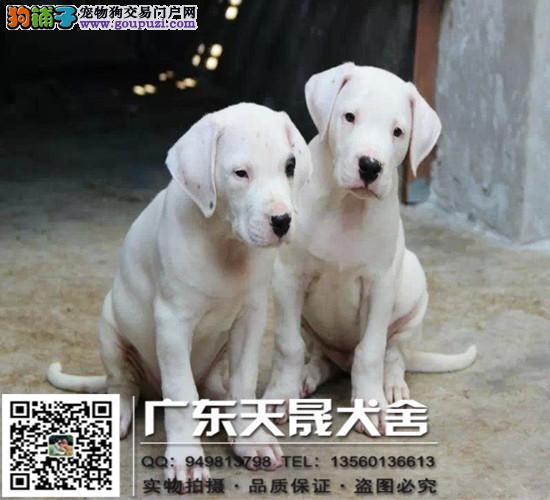 纯种杜高、杜高犬保证纯种健康、 终身质保、饲养指导