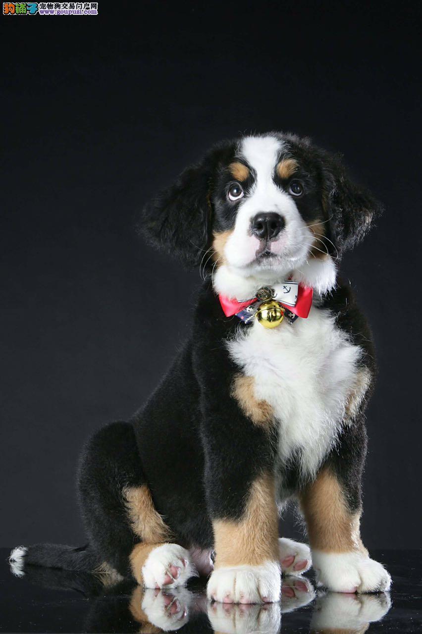 高品质纯种伯恩山 犬正规养殖基地,带健康证书签协议