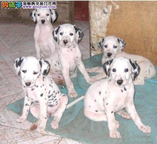 斑点狗养殖基地打完疫苗有证书签协议健康质保