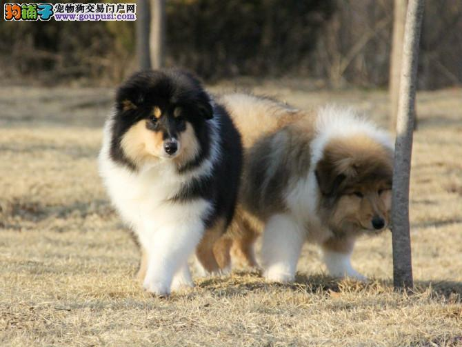 纯种苏格兰牧羊犬幼犬 毛色靓体型佳两色三色多只可选