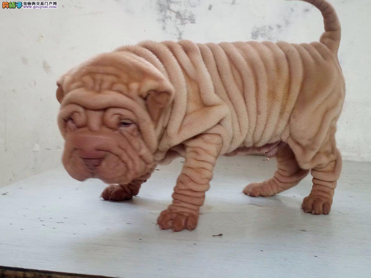 正规繁育中心 纯种健康的精品沙皮幼犬出售