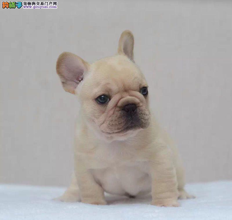 出售多只优秀的法国斗牛犬青岛可上门欢迎爱狗人士上门选购