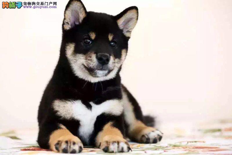 纯血统柴犬出售柴犬幼犬终身售后质保