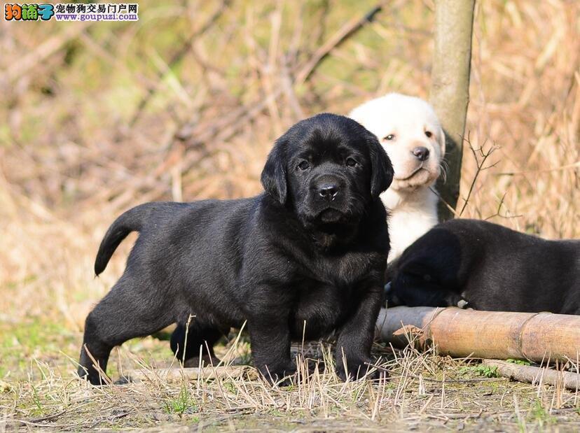 CKU认证赛品拉布拉多幼犬品质三包出售
