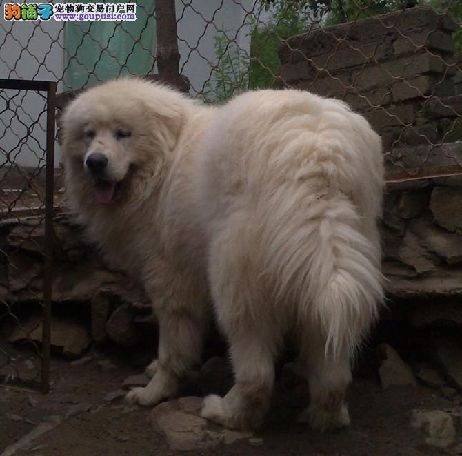大型正规养殖基地出售纯种大白熊大白熊幼犬