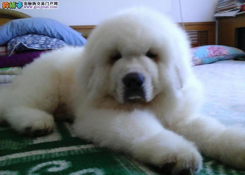 高品质纯种大白熊犬,骨架足,正规犬舍繁育