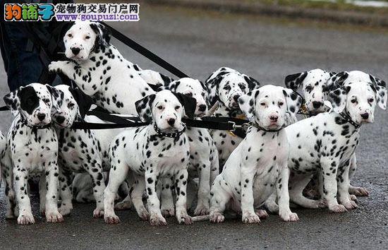专业繁殖纯种斑点犬,幼犬,随时可以上门看狗
