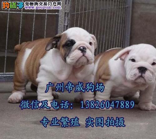 广州哪个地方有卖宠物狗 广州哪里卖英国斗牛犬