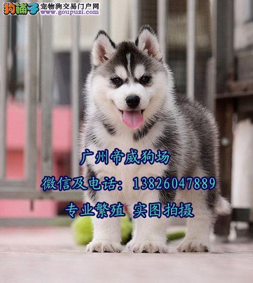 广州番禺区大石哪里有狗卖 广州哪里有哈士奇买